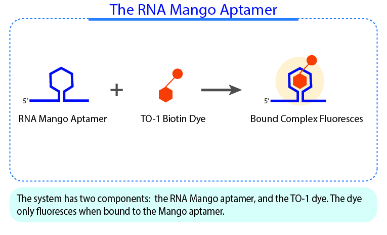 The RNA Mango Aptamer