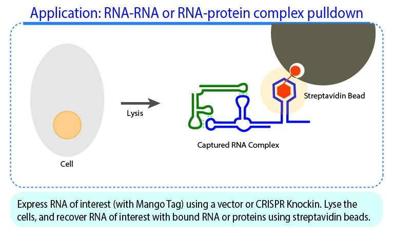pApplication: RNA-RNA or RNA-protein complex pulldown