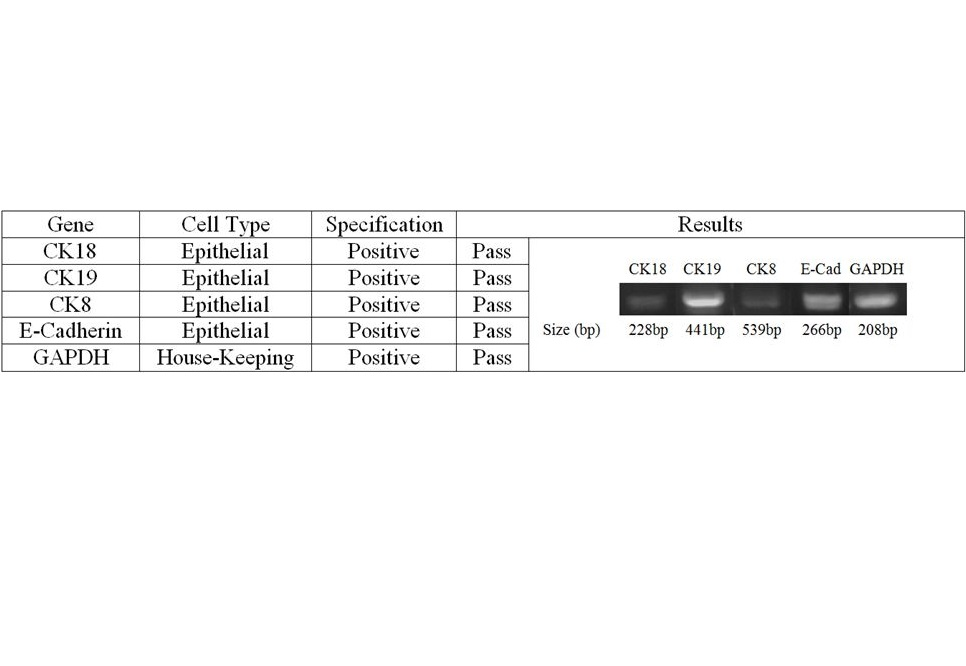 Cell Characterization - Human Primary Prostate Epithelial Cells